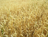 Golden ripe ears of wheat on the field Royalty Free Stock Image