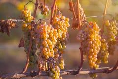 Golden ripe grapes of Rkatsiteli in a vineyard before harvest, K. Akheti, Georgia royalty free stock photo