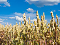 Golden, ripe wheat Royalty Free Stock Photos