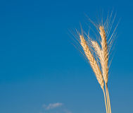 Golden, ripe wheat Stock Image
