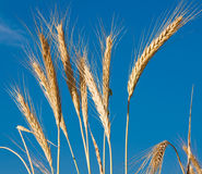 Golden, ripe wheat Royalty Free Stock Photography