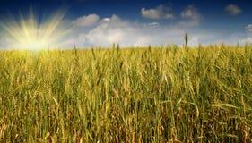 Golden, ripe wheat against blue sky background. Stock Photo