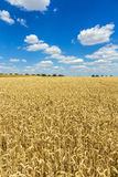 Golden, ripe wheat against blue sky background Royalty Free Stock Image