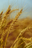 Golden Ripe Wheat Stock Images