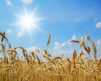 Golden ripe wheat ears. Against the blue sky and the sun Stock Photos