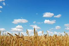 Golden ripe wheat field. Against a cloudy blue sky Stock Photography