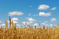 Golden ripe wheat field Royalty Free Stock Photography