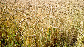 Golden, ripe wheat field as background. Close up Stock Image