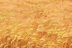 Golden ripe wheat field background. In shallow DOF Royalty Free Stock Photography