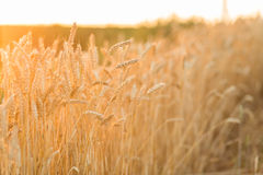 Golden ripe wheat field background, copy space Royalty Free Stock Images