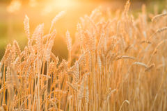 Golden ripe wheat field background, copy space Royalty Free Stock Photo