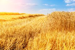 Golden ripe wheat field, just before harvesting. Agricultural landscape Royalty Free Stock Photo