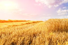 Golden ripe wheat field, just before harvesting. Agricultural landscape Stock Image