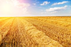 Golden ripe wheat field, just before harvesting. Agricultural landscape Stock Photo