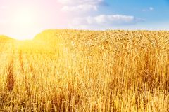 Golden ripe wheat field, just before harvesting. Agricultural landscape Royalty Free Stock Images