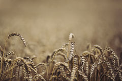 Golden ripe wheat field Stock Images