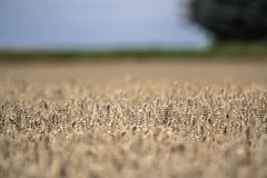 Golden ripe wheat field on sunny day. Close up Stock Photography