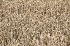 Golden ripe wheat field on sunny day. Close up Stock Photo
