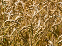 Golden ripe wheat grain Stock Photo