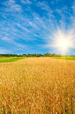 Golden  ripe wheat and sun,blue sky with clouds. Royalty Free Stock Images
