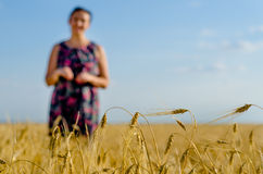 Golden ripening wheat in a wheat field Royalty Free Stock Images