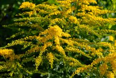 Golden rod. Close of golden rod blossoms Stock Image