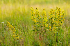 golden-rod close up. Royalty Free Stock Photos