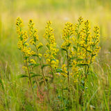 Golden-rod close up. Royalty Free Stock Image