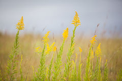 Golden rod Stock Photos