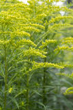 Golden Rod Plant Stock Photo