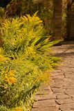 Golden rod (solidago) Stock Photos