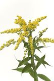 Golden Rod With Yellow Flower Royalty Free Stock Images