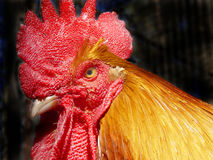 Golden Rooster Stock Photos