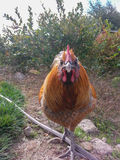Golden Rooster Straight-On. A golden rooster walking toward the camera Stock Photos