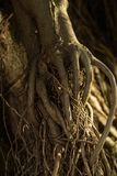 Golden roots of a tree look like human hands. Beautiful sunlight, each root branch looks like the fingers on a hand royalty free stock images