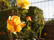 Golden Rose. In the afternoon sunlight stock photography