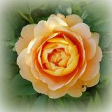 Golden rose. Rose in the golden color of the sun Stock Photo