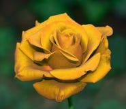 Golden rose tea Stock Images
