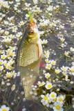 Golden Rudd - summer lake fishing Royalty Free Stock Photography