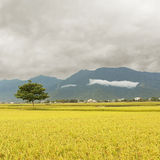 Golden rural scenery. Rural scenery with golden paddy rice farm in Taitung, Taiwan, Asia Stock Photo