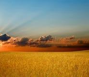 Golden Rye Stock Image