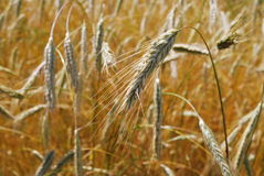 Golden Rye in Autumn.Village Rye. Farm.  Sunny Gold Royalty Free Stock Images