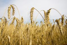 Golden rye closeup royalty free stock photo