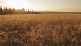 Golden rye ears field pan stock footage