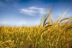 Golden Rye. Rye field against the blue sky. Place for text. Friendly production royalty free stock images