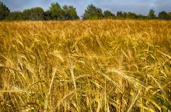 Golden Rye. Rye field against the blue sky. Place for text. Friendly production royalty free stock photography
