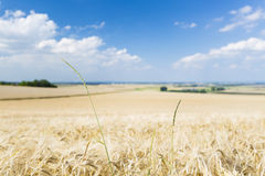 Golden Rye Field Royalty Free Stock Images