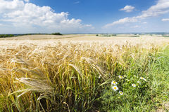 Golden Rye Field And Flowers. A golden rye field with blue sky and wide Eifel landscape in Germany, some flowers in the foreground Stock Photos