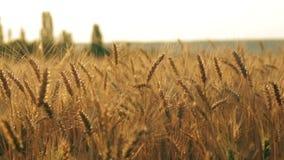 Golden rye field pan stock video