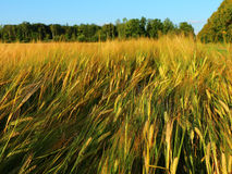 Golden rye field in summer Royalty Free Stock Photos